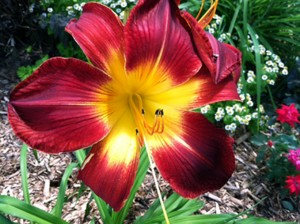 garden photo of a Ruby Spider Day Lily